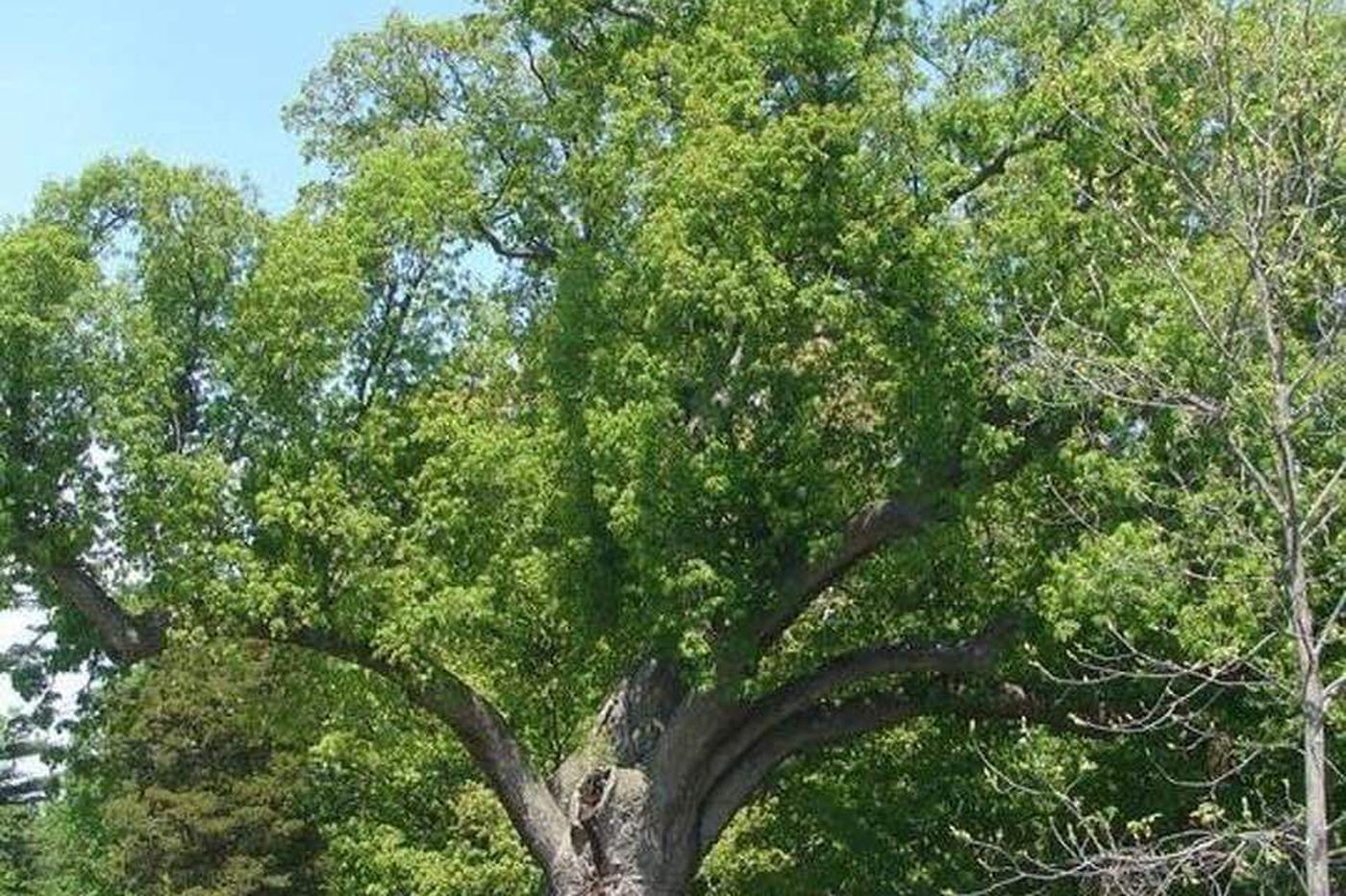 An obituary for the late, great 600-year-old Salem Oak Tree