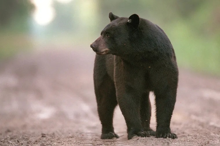 Game wardens say a bear attacked a woman outside her home in Pennsylvania and dragged her more than 80 yards (73 meters). (File photo)