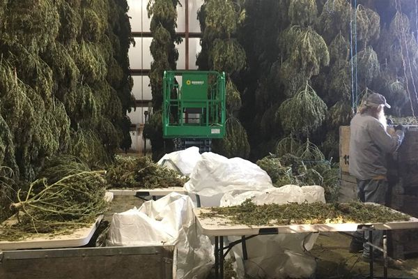 In their first year, U.S. hemp farmers struggle with bad weather, mold, inexperience