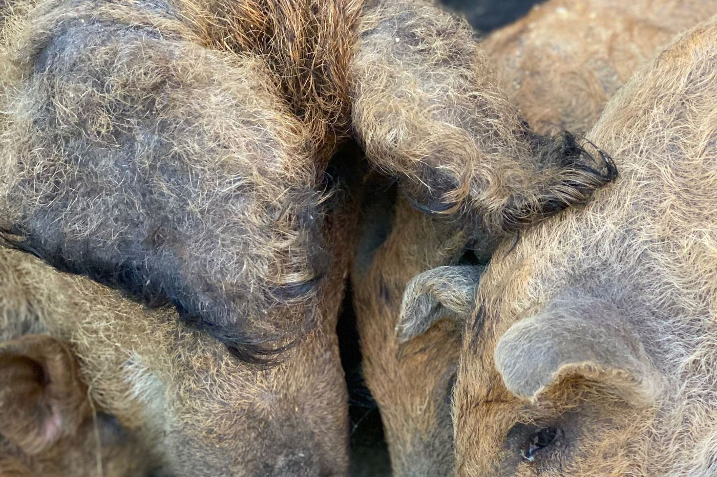 At a Lititz farm, rare Mangalitsa pigs are raised for Philly restaurants and retail sale