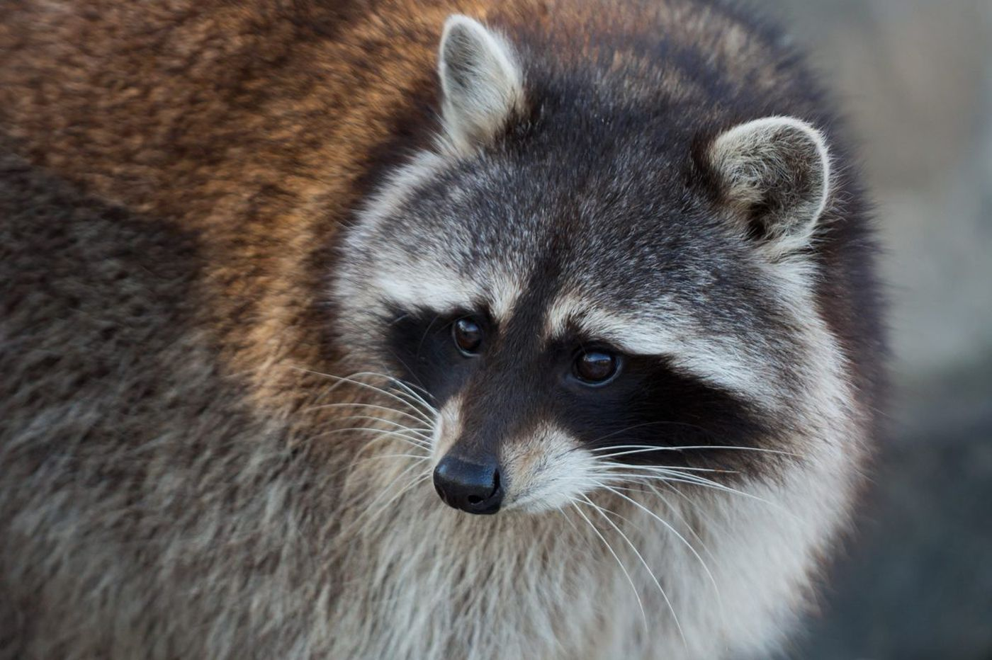 Raccoon reportedly attacks baby inside North Philadelphia home