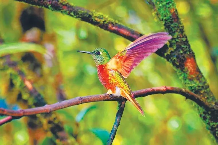 Chestnut-breasted Coronet hummingbirds sparkled everywhere around the Tapichalaca feeders.