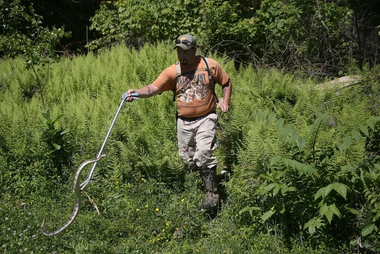 Glen Ellsworth III brings out a timber rattlesnake he found while hunting for snakes in rural Columbia County, Pa., on Saturday, June 16, 2018. Ellsworth and his son were looking for rattlesnakes and other types of snakes to enter in the annual Noxen Rattlesnake Roundup. This rattlesnake was shorter than 42 inches, too short to keep according to state game laws, so it was released.
