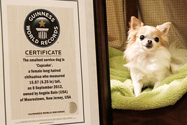 Cupcake, the world's smallest service dog, according to Guinness World Records. She lives in Moorestown with her human, Angela Bain.