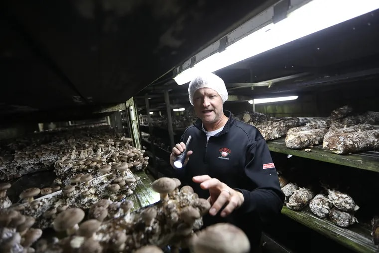 Peter Gray explains the growing cycle of shiitake mushrooms at Phillips Mushroom Farm in Kennett Square Monday October 22, 2018.