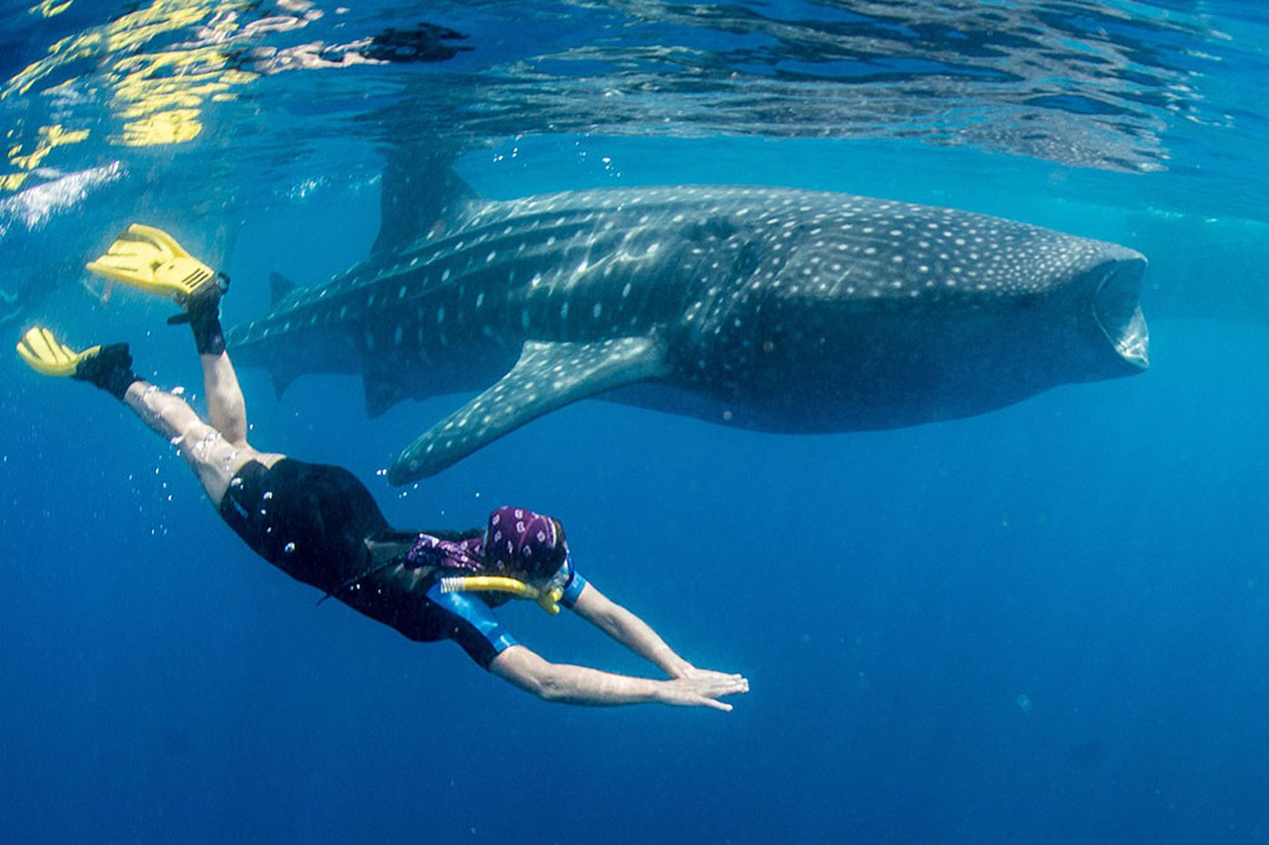 Off the Yucatan, too-close encounters with whale sharks