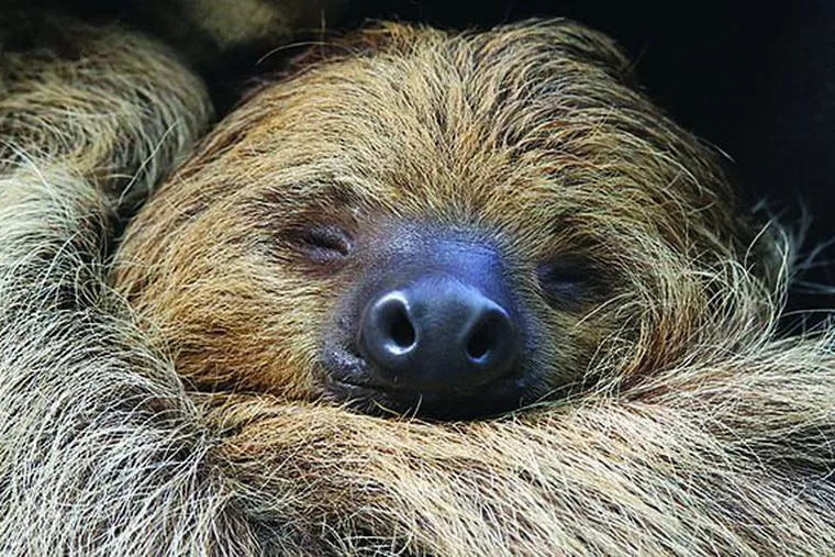 """Find live sloths hanging from a canopy of trees inside the Academy of Natural Sciences' forthcoming exhibition, """"Survival of the Slowest."""""""