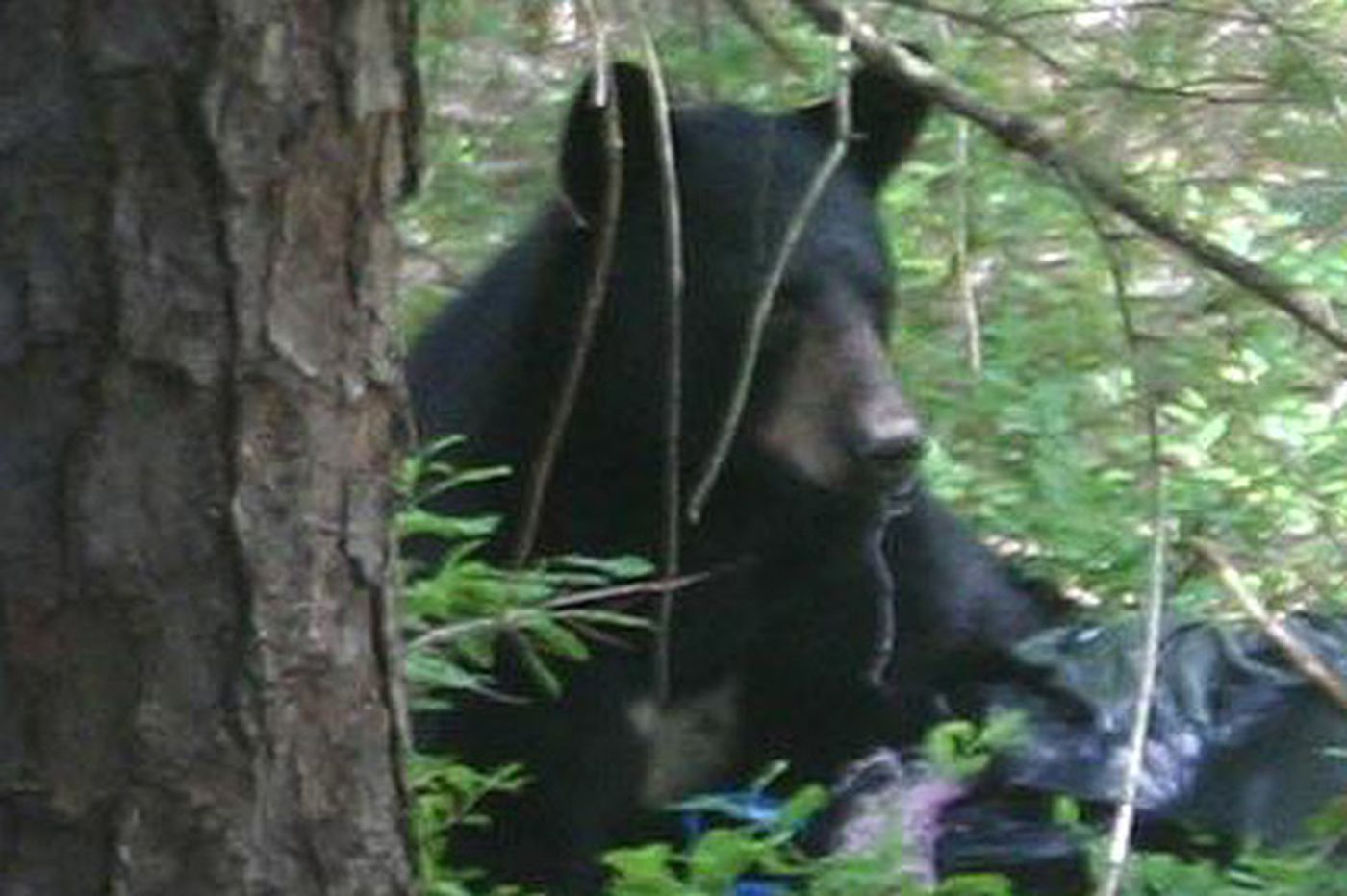 Protests set as N.J. bear hunt nears