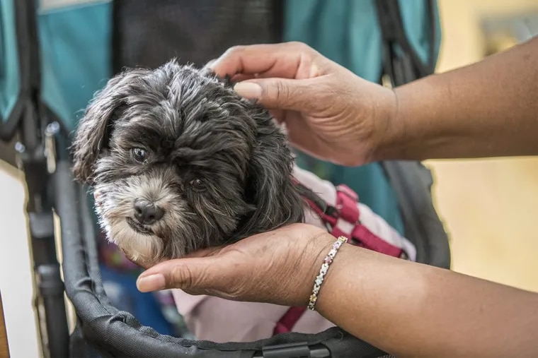 Olivia Mae, a 10-pound therapy dog, has been coming to work at the VNA hospice since August in a stroller after she fell off the bed and broke her foot.