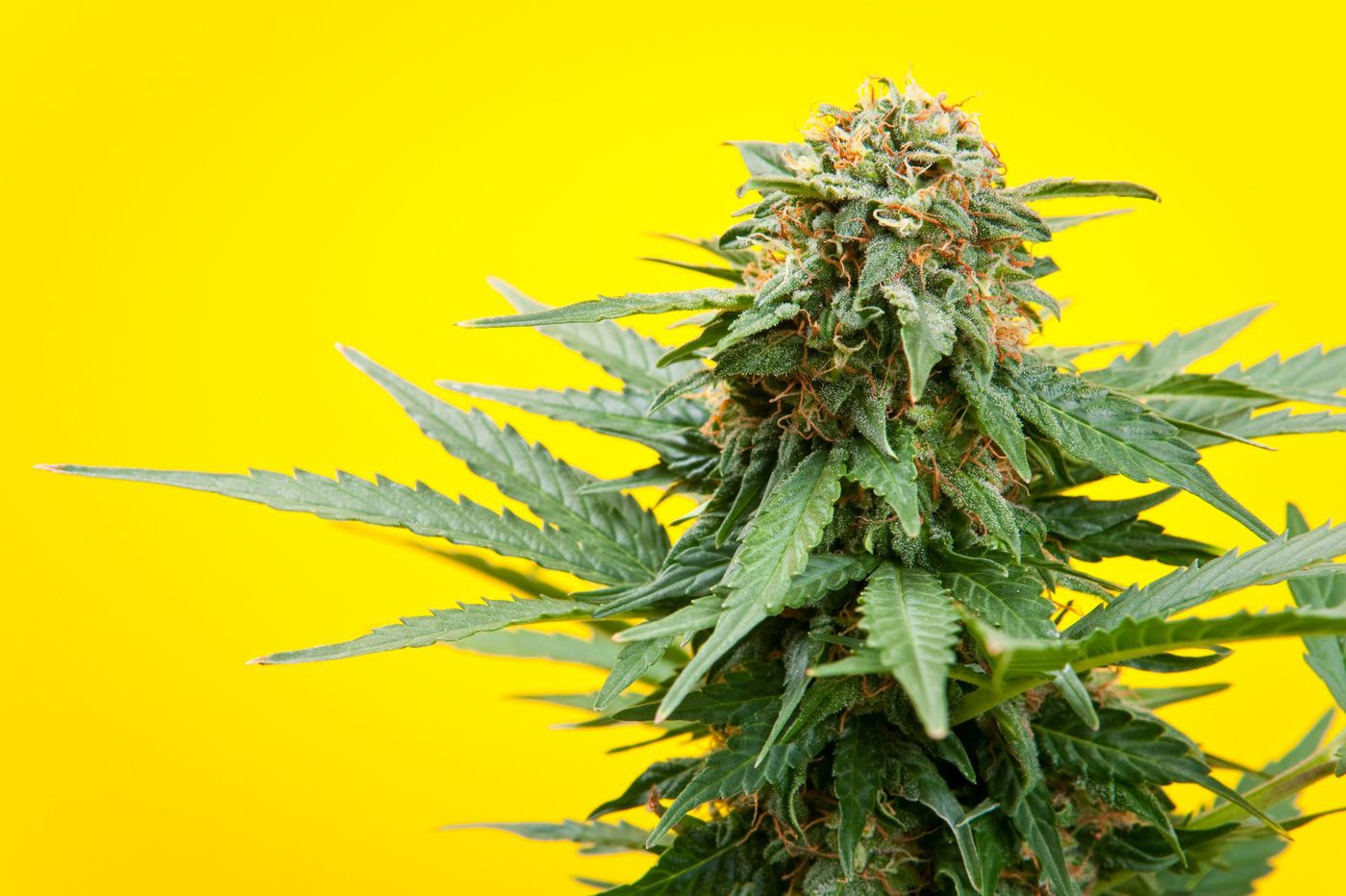 CBD: Food, drug or supplement? Everybody is taking it, but is it safe?