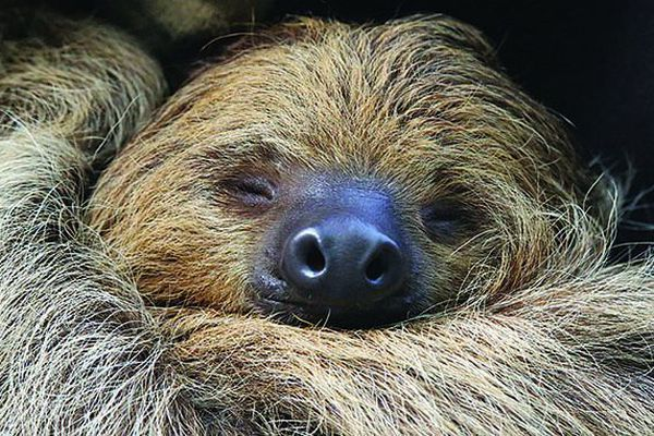 Meet a live sloth, hedgehog, and more at the Academy of Natural Sciences' 'Survival of the Slowest'