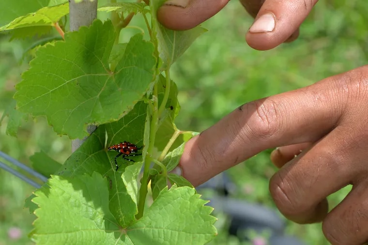 A spotted lanternfly in the nymph stage settles on the young vines at Setter Ridge Vineyards outside Kutztown.