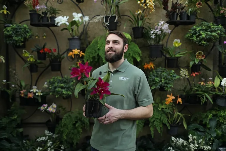 """Longwood Gardens senior horticulturist Greg Griffis holds a Ryncholaelia """"Crimson Triumph"""" orchid in garden's Orchid House."""
