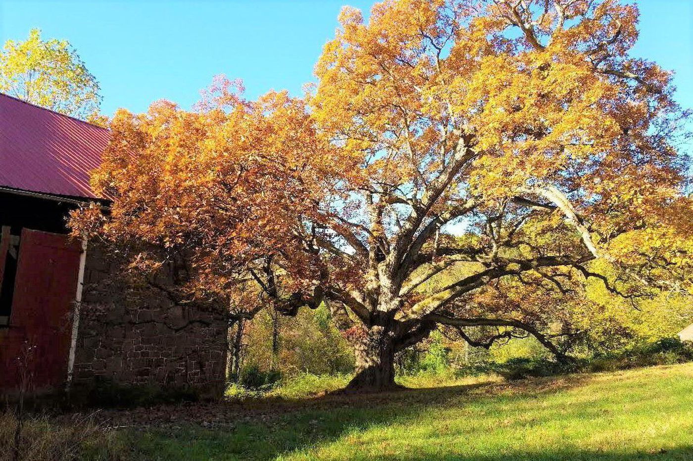 400-year-old 'William Penn' oak preserved, along with Chester County farm