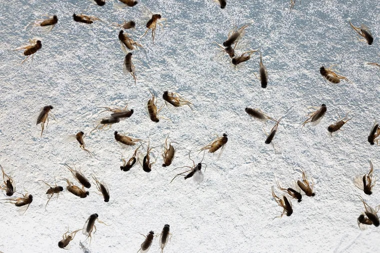 A group of mushroom phorid flies lie dead on a sticky trap inside a mushroom-growing facility in New Garden Township, Chester County. Over the last three years, the flies have come to swarm inside residential communities, leaving homeowners desperate to find a way to get rid of them.