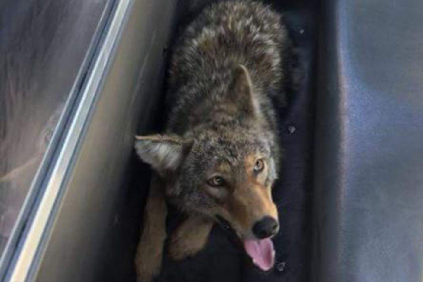 Police catch coyote in Philadelphia's Mayfair neighborhood