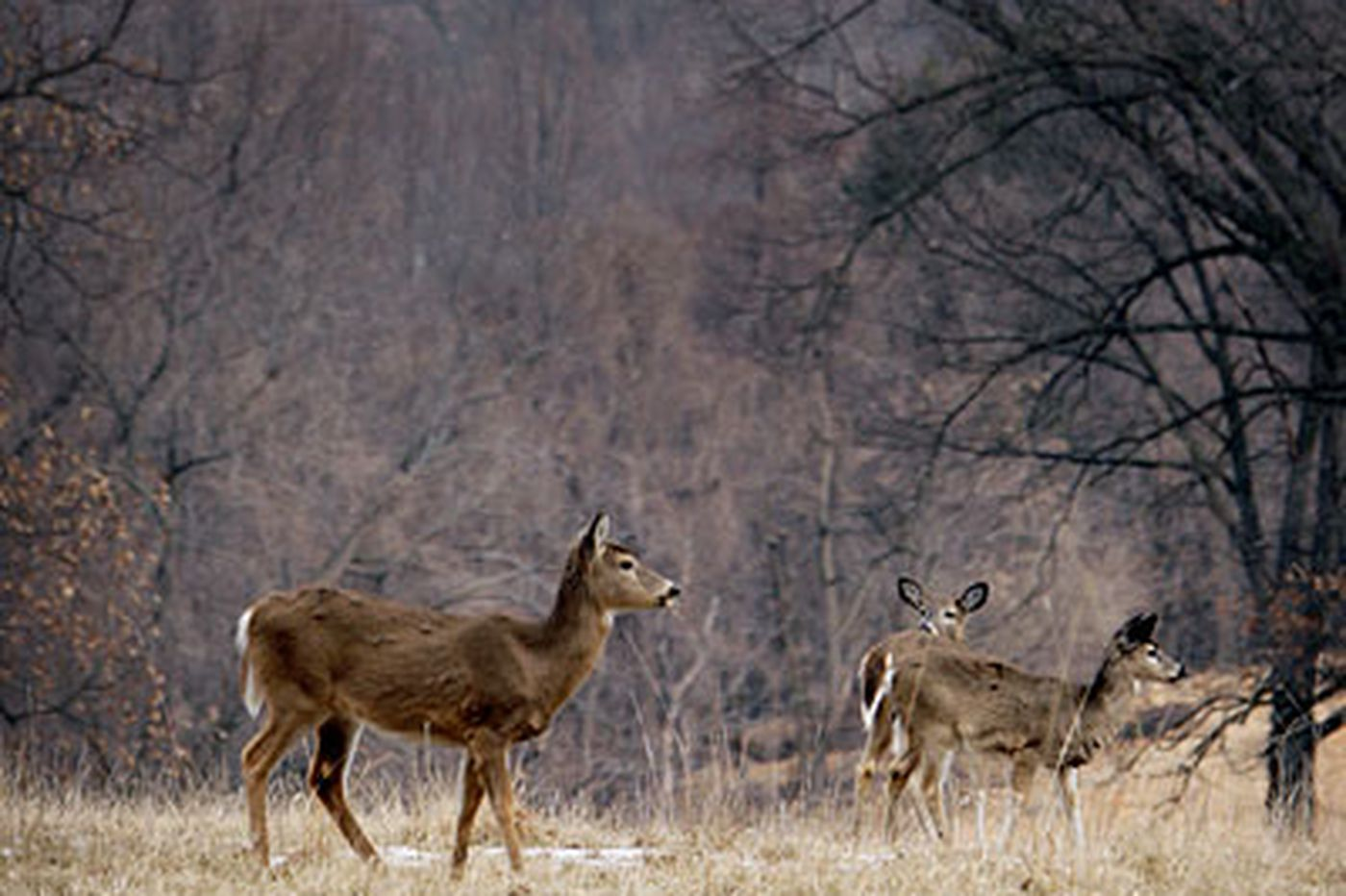 Experts: Pa.'s deer population is out of control
