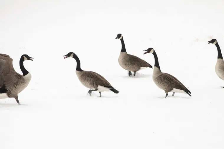 Geese walk through the snow at Water Works in Fairmount Park in Philadelphia on Thursday. Weather systems have been flying across the country faste than these characters.