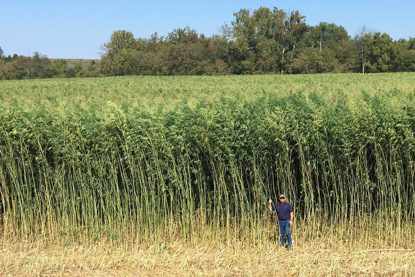 Pa 's once vast hemp harvest reemerges from the weeds