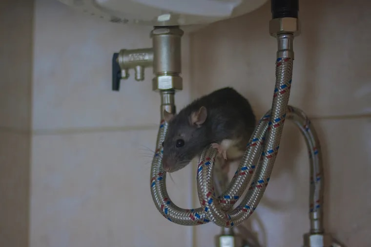 Philadelphia ranked No. 1 in rodent sightings about homeowners and renters, according to an analysis of 2019 Census Bureau housing data.