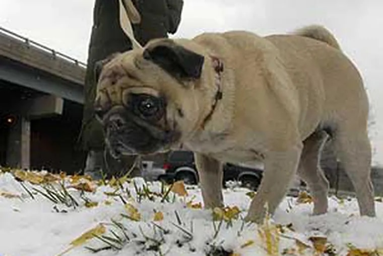 The snow wasn't quite knee deep to a human, but the depth was different  for a pug. Denise Pody owner of Flowers Etc. in Northern Liberties took a break today to take a walk in the snow with her dog her dog, Butterscotch.