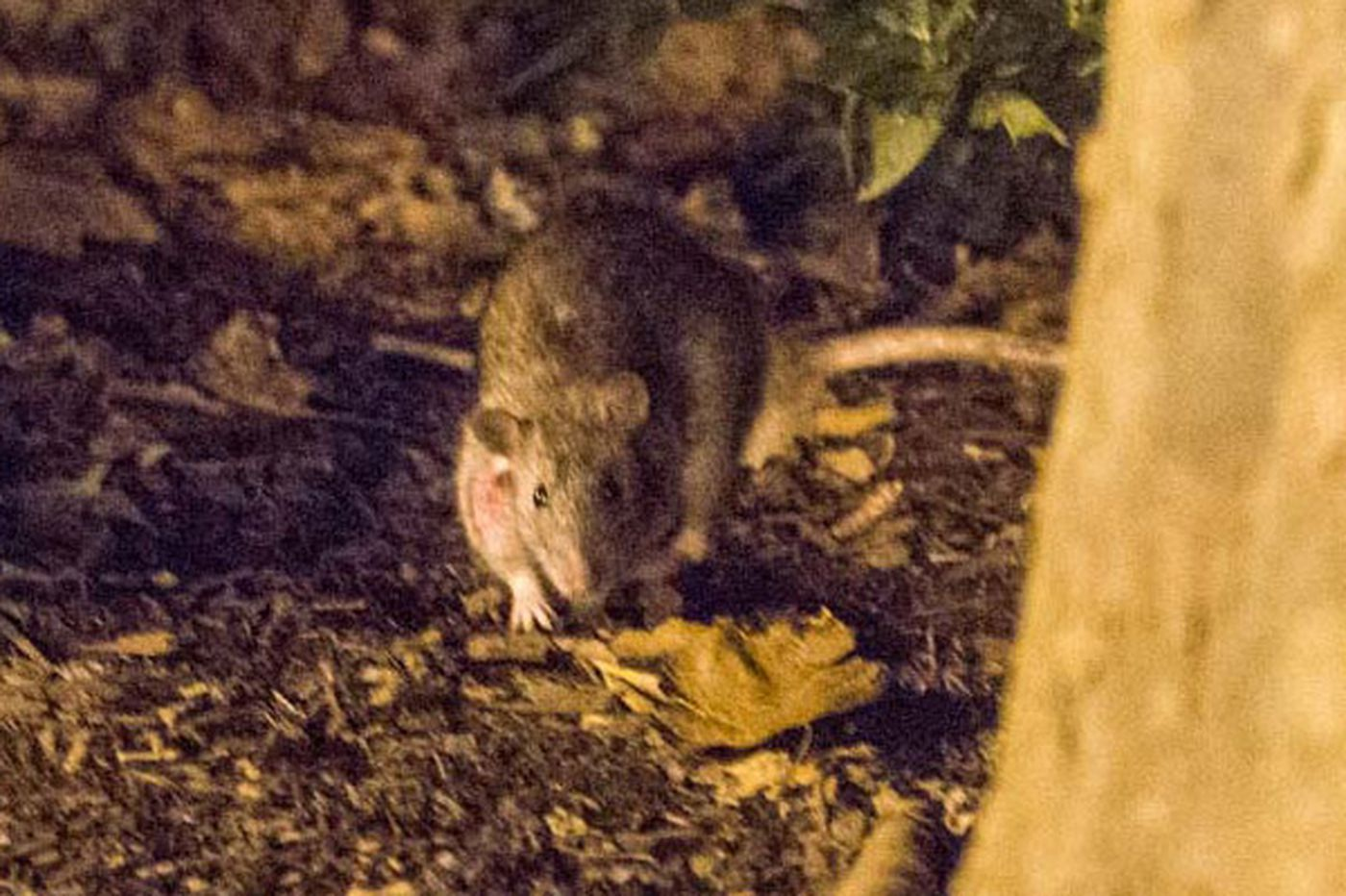 Rats living large in Rittenhouse Square