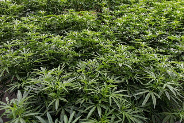 Harvest, the big marijuana company on the ropes in Pennsylvania, accused of misleading Ohio regulators