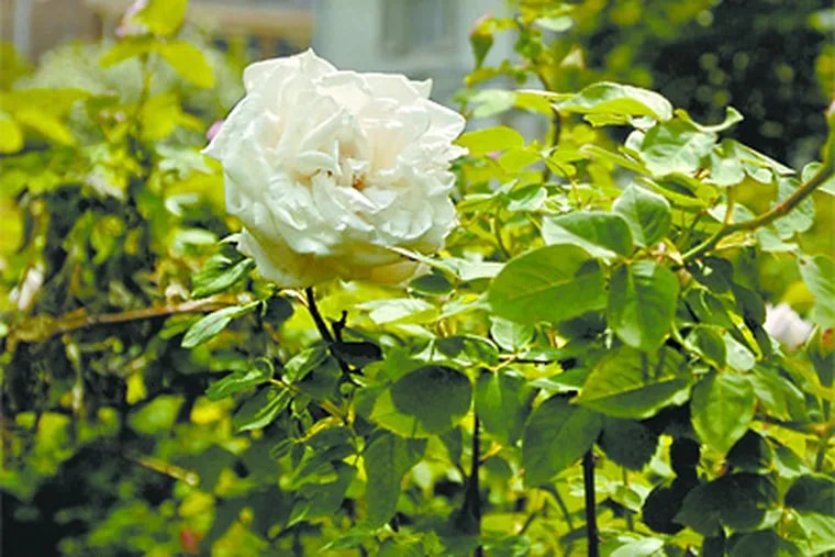 The Faru Karl Druschke rose, the oldest variety on the grounds of the Wyck House in Germantown. (Ron Tarver / Staff Photographer)