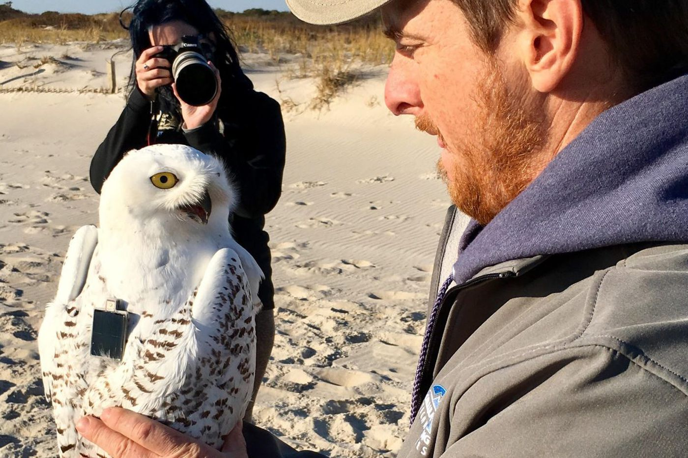 Snowy owls flock to New Jersey and Pennsylvania