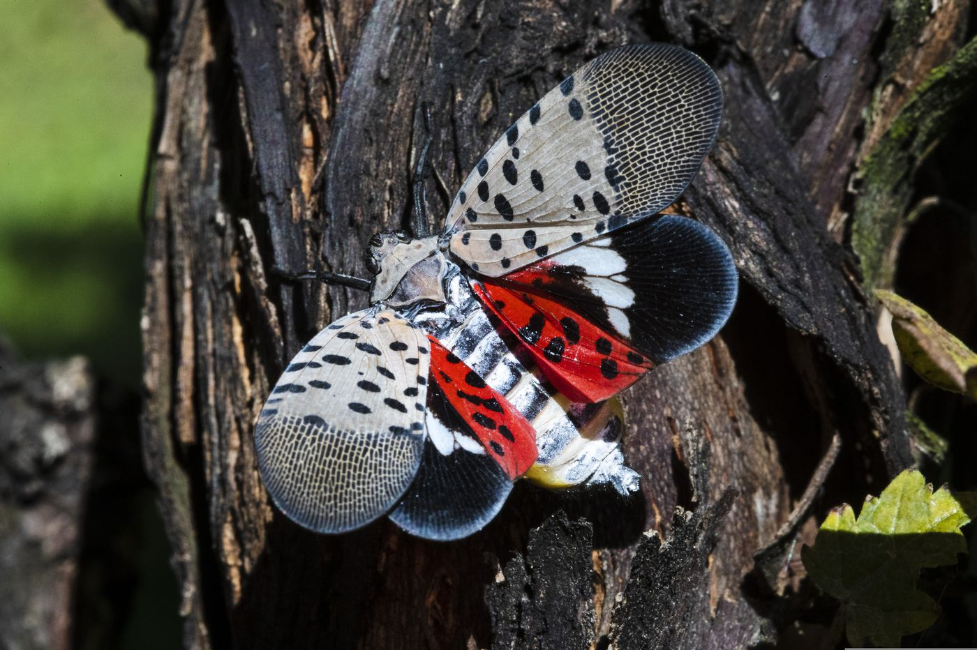 Pa.'s first spotted lanternfly hatch of the year found in Philadelphia near Penn, Drexel