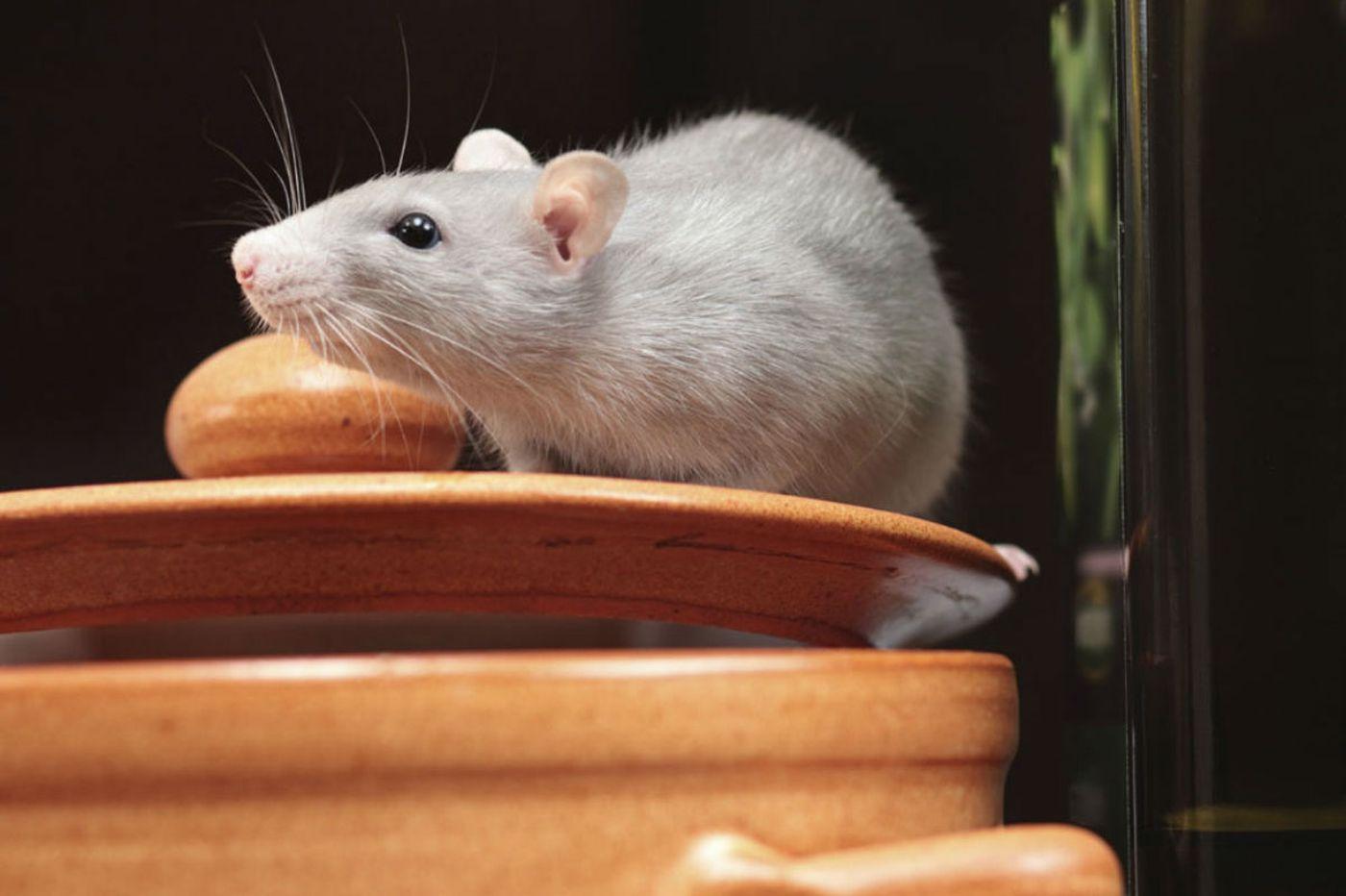Flu-carrying pet rat found in Pennsylvania