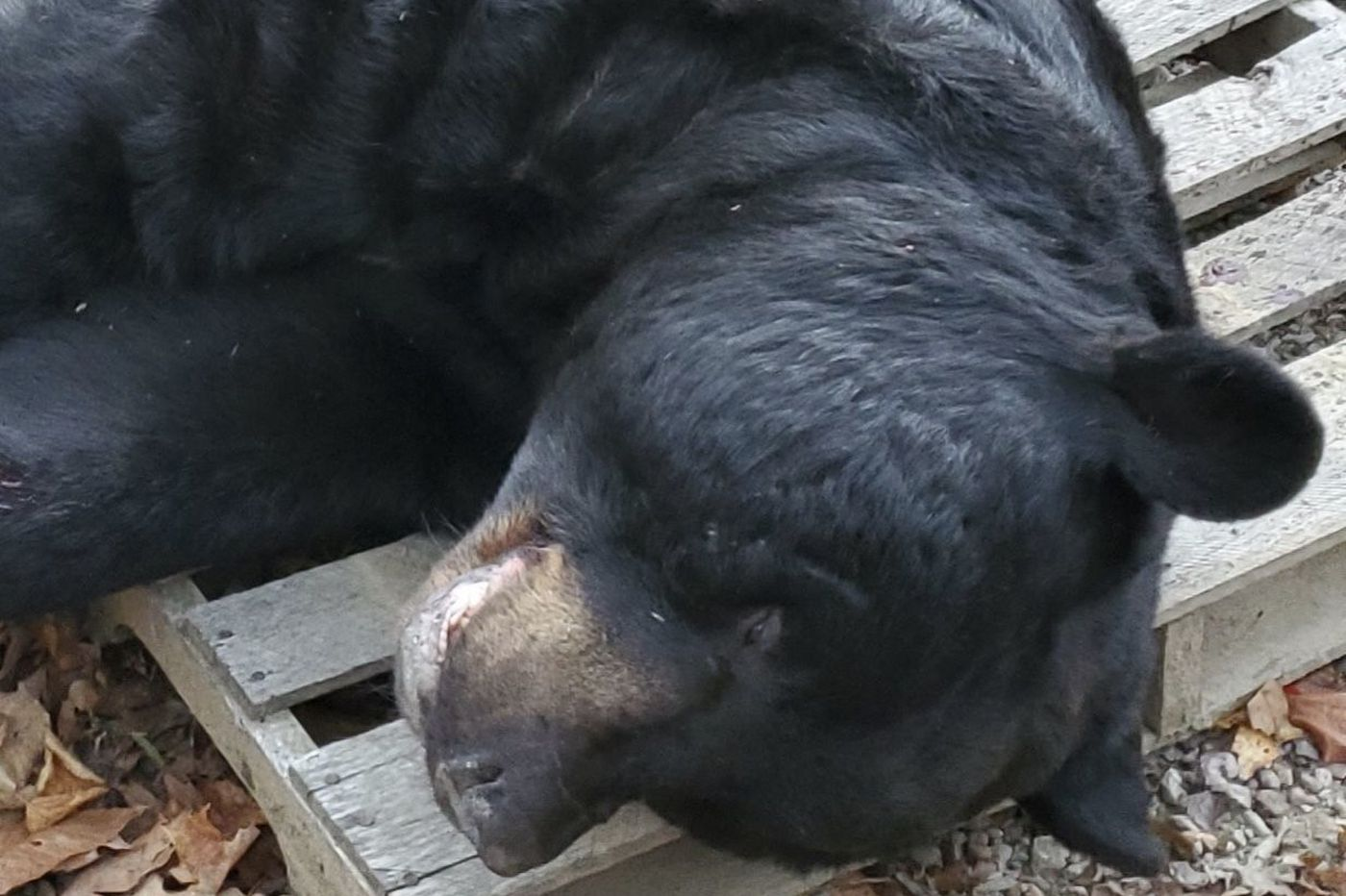 At 700 pounds, black bear killed in New Jersey sets world record, says national hunting group