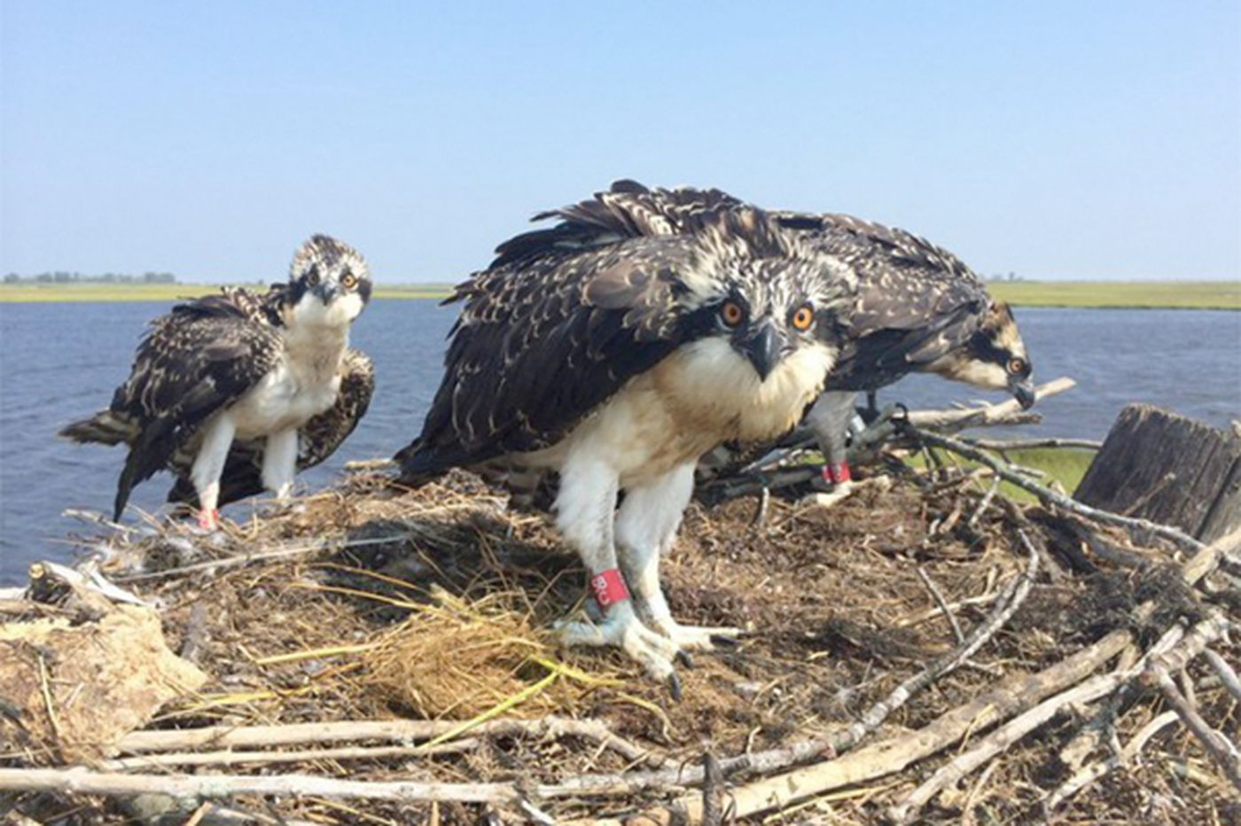 N.J. osprey monitoring to shift from scientists to citizens