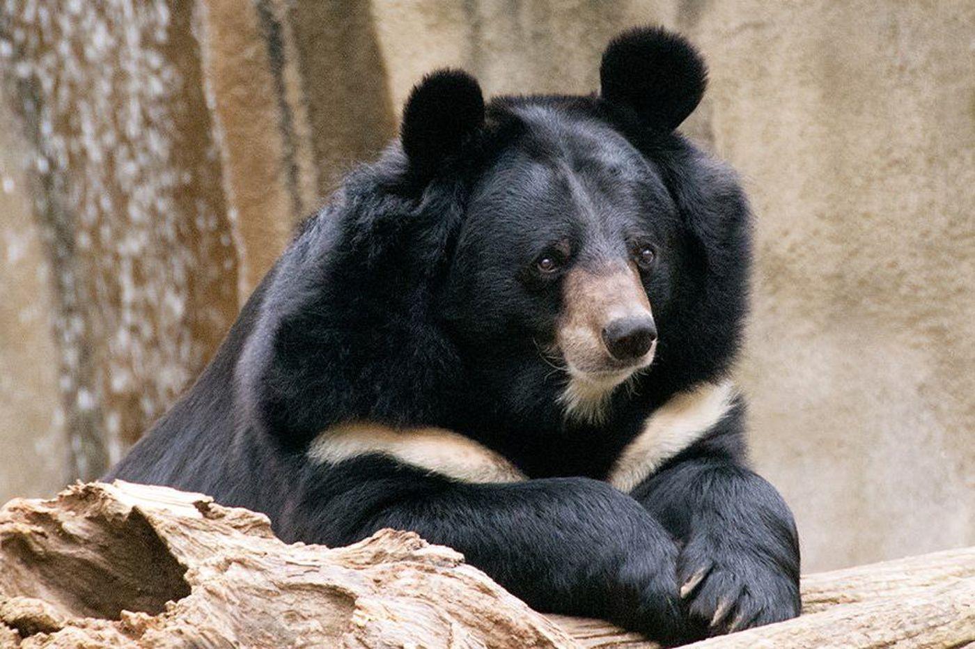 Philadelphia Zoo's Asian black bear dies