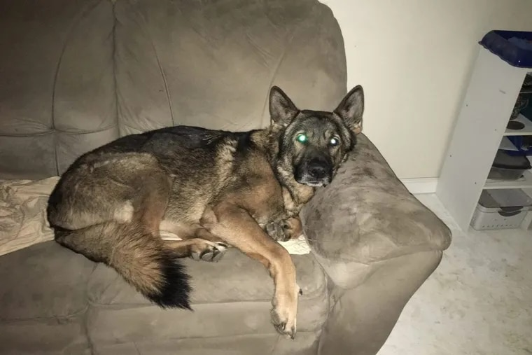 K9 Abal had full run of Officer Galanti's house, including permission to hang out on the sofa