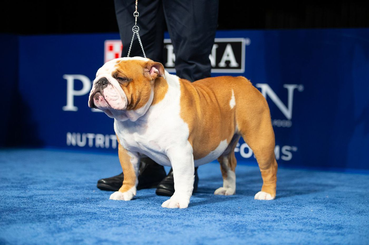 Philly's Dog Show highlighted the English bulldog, but the breed carries a high risk of health woes
