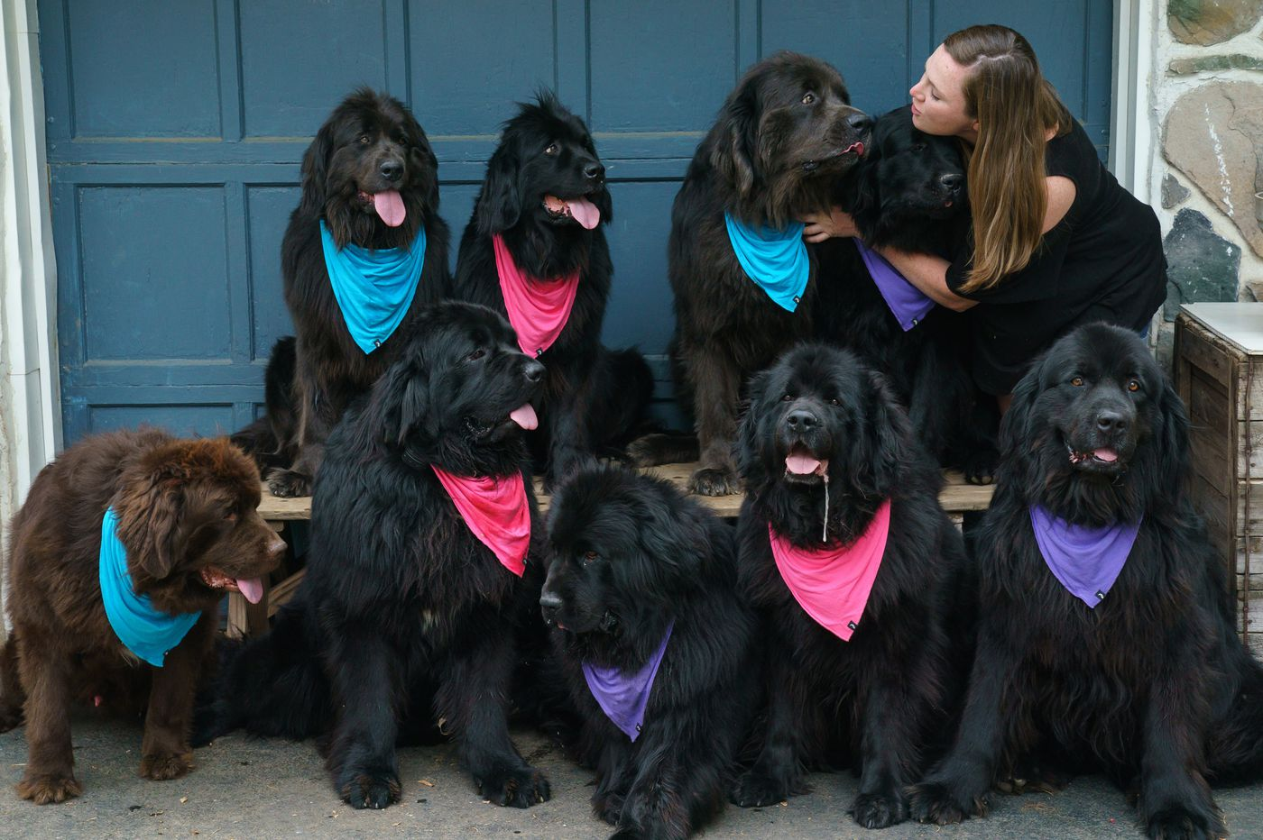Delco dog mom has 9 Newfoundlands, a huge online following, and her own meme | We the People