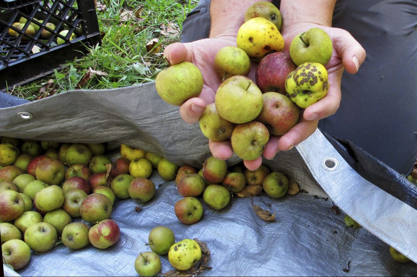 Apples are ripe for the picking. Here's where to get yours