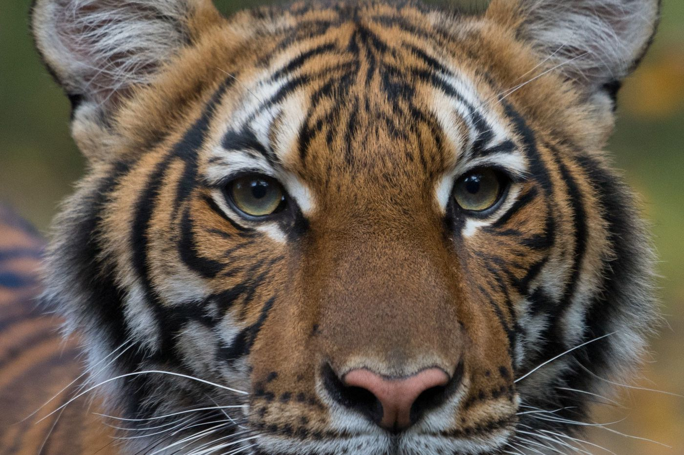They said pets couldn't get the coronavirus, so how did a tiger test positive? Vets explain.