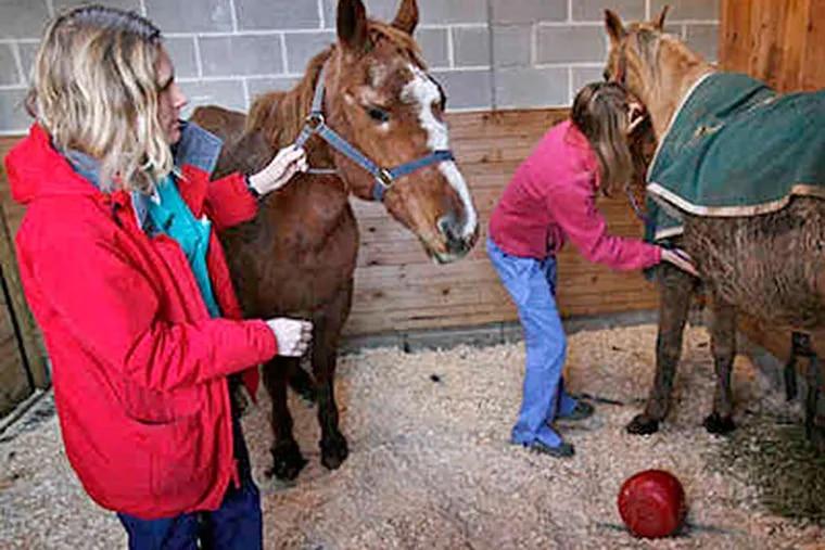 Nicole Paul (left) of Penn's Veterinary School and Katherine Polak, a Veterinary Science student at Iowa State, examine two of the seized horses. (ALEJANDRO A. ALVAREZ / Staff photographer)