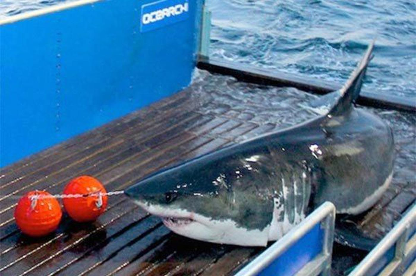 Where's Mary Lee the great white shark? She's been missing for a month
