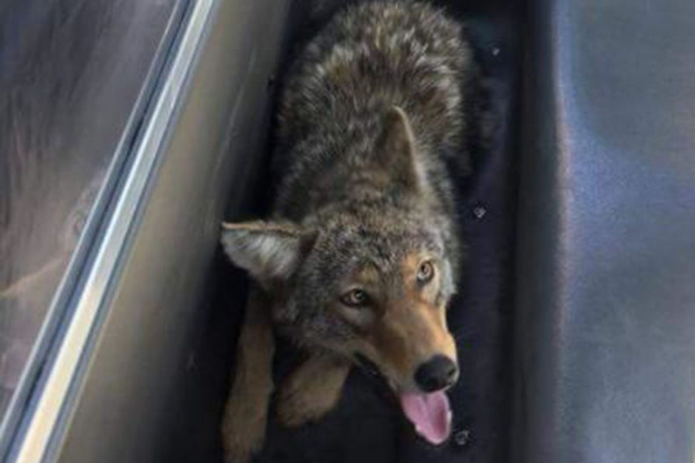 Mayfair coyote cornered by Philadelphia police and released in Pennypack Park