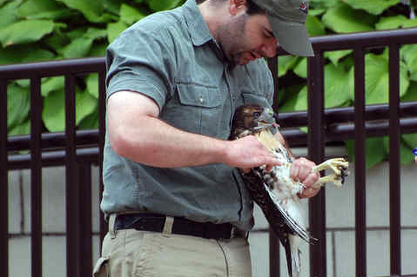 Baby hawk rescued after trying to fly