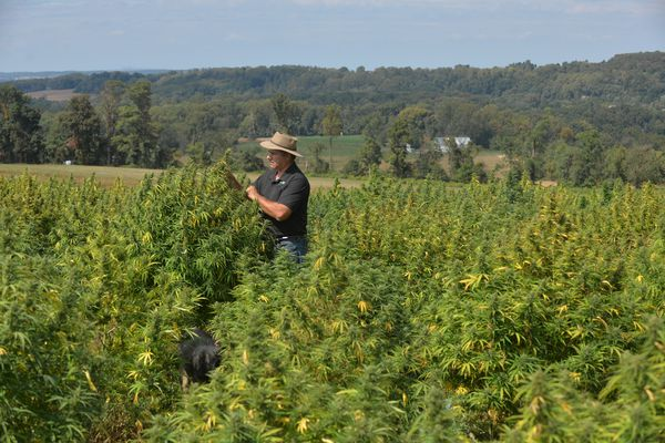 As farmers flock to hemp, Amish and 'English' in Pennsylvania foresee real profits