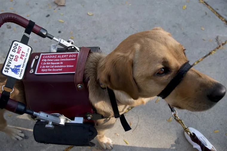 Amber, a yellow lab, is a cardiac service dog. The Americans with Disabilities Act (ADA) actually requires owners to maintain control of their animals. Don't make a tough job more difficult.