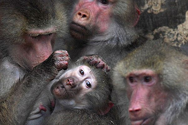Why can baboons tell written words from gibberish? The eyes — and brain — have it