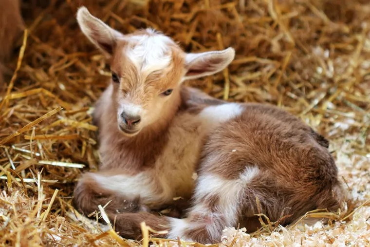 Zoo New England's newest baby goat is named Foles because they lost a Super Bowl bet to the Philadelphia Zoo.