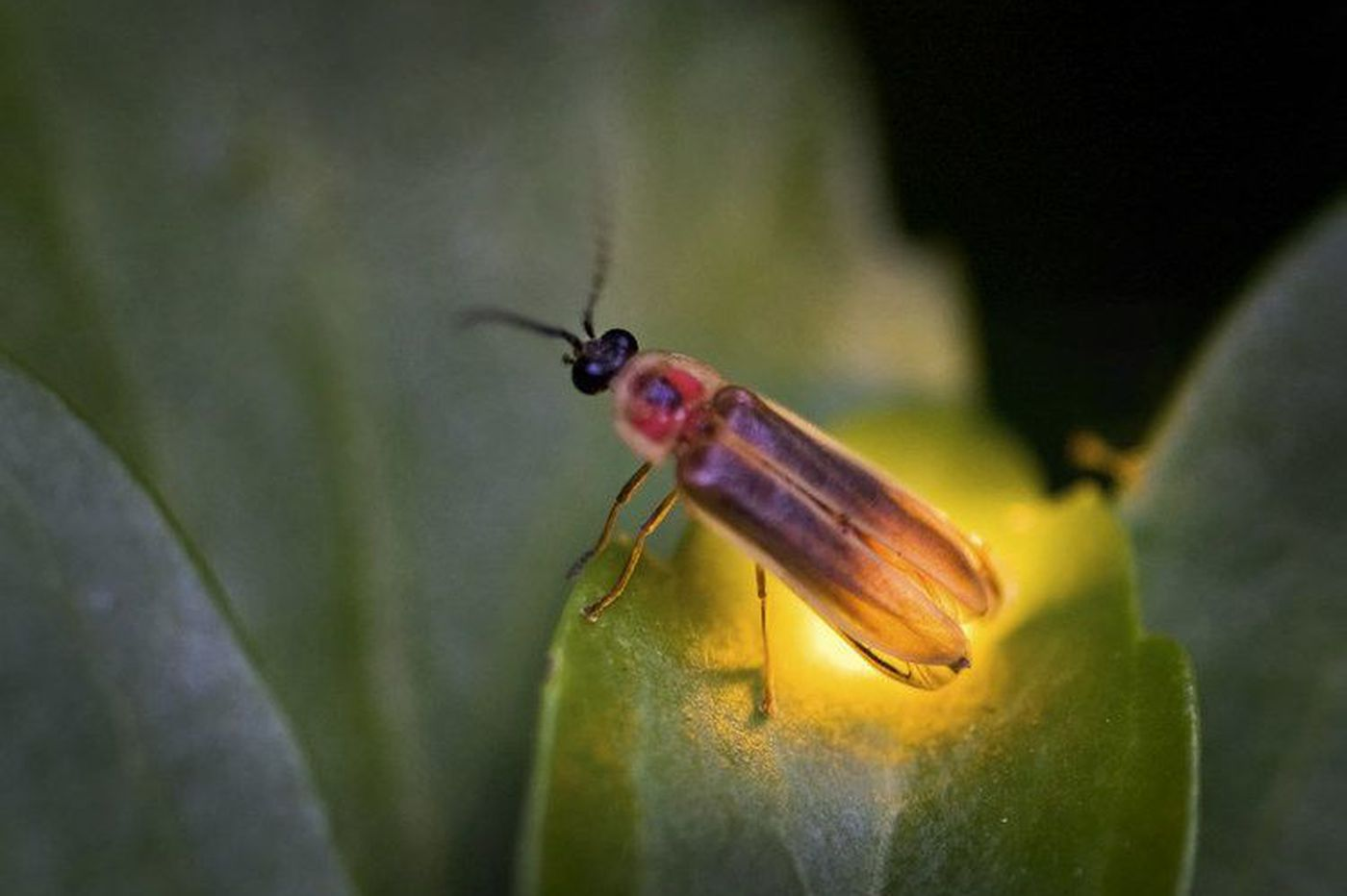 Firefly season is peaking in the Philly area. Here is what sets Pennsylvania's state insect aglow.