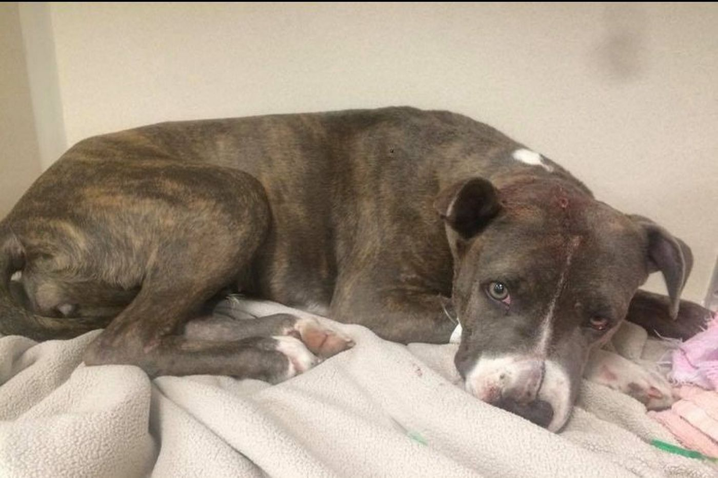Animal lovers raise $8K to rescue abused pit bull