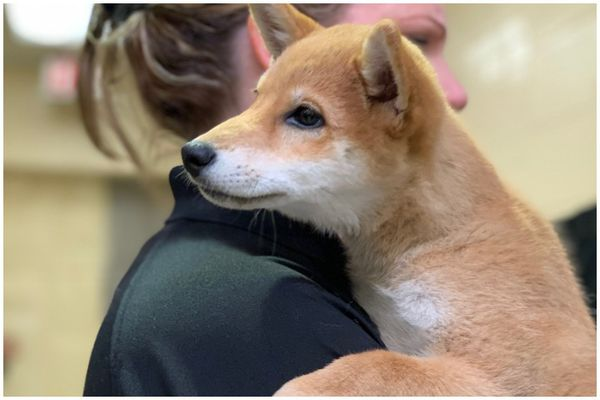 Puppy stolen from PSPCA's North Philly headquarters is found safe